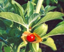 Ashwagandha, Winter Cherry