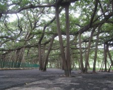Banyan Tree, Indian Banyan