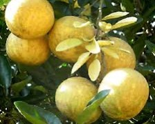 Bengal Quince, Bael fruit