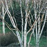 Himalayan Birch, Birch Tree