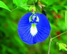 Asian Pigeonwings, Butterfly Pea, Cardofan Pea, Winged Leave Clitoria