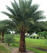 Date Palm, Dried Dates,