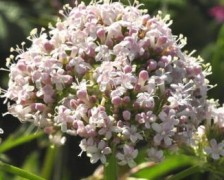 Indian Valerian