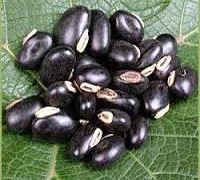 Velvet Bean, Cowhage, Cow-itch, Buffalo bean