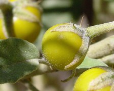 Yellow Fruit Nightshade