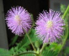 Touch Me Not, Sensitive Plant